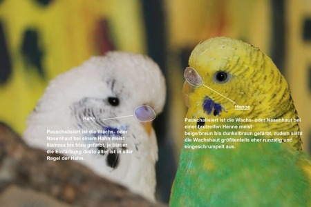 Pauschalisiert ist die Wachs- oder Nasenhaut bei einem Hahn meist lila/rosa bis blau/dunkelblau gefärbt, je blauer die Einfärbung desto älter ist in aller Regel der Hahn. Pauschalisiert ist die Wachs- oder Nasenhaut einer Henne mit zunehmender Brutreife meist von kalkweiß/beige bis braun/dunkelbraun gefärbt, zudem sieht die Wachshaut eines Weibchens vorwiegend eher runzelig und eingeschrumpelt aus.