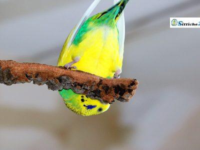 """Unser Vogelshop ist versandbereit für Sie zu Hause etwa in Kassel, Hagen oder Lübeck. Warum nicht? Machen Sie Ihren Wellensittichen, Nymphensittichen und Papageien eine Freude mit Rindenkork als ideales Vogelspielzeug. Das natürliche Material aus der Korkeiche ist optimales Vogelspielzeug für Ihre Vögel. Kork besitzt viele einzigartige Eigenschaften, zum Beispiel unterliegt es keiner Alterung. Rindenkork wirkt isolierend und hält Ihren Vogel warm, zudem ist Kork staubabweisend und deshalb auch gesundheitlich sehr gut für Vogelhalter verträglich, die unter Asthma leiden. Korkrinde bietet Ihren Wellensittichen, Sperlingspapageien, Nymphensittichen und Kanarienvögeln Knabberspaß pur und garantiert langanhaltende Beschäftigung. Ein toller Nebeneffekt bei """"Freiflüglern"""" ist, dass Ihre Möbel und Tapeten nicht durch den naturgemäßen Nagetrieb Ihrer Vögel in Mitleidenschaft gezogen werden. Kork konzentriert das Nagebedürfnis Ihrer Vögel auf sich. Auch in Ruhe- oder Schlafphasen macht Korkrinde eine perfekte Figur, da die Oberfläche Ihre Vögel zum Verweilen einlädt. Stark beanspruchte Körperzonen werden durch die weiche Oberflächenstruktur des Korks entlastet, wie etwa die empfindlichen Krallen- und Fußpartien. Auch der Vogelschnabel wird durch das Schreddern des Korkmaterials sinnvoll beansprucht und natürlich abgenutzt. Sprechen Sie uns bitte an, wenn Sie Fragen haben - egal ob zum Thema Rindenkork, Vogelfutter oder in anderen Anliegen rund um Ihre """"kleinen Piloten"""" - wir sind gerne für Sie da! Ihr Team von sittiche24."""