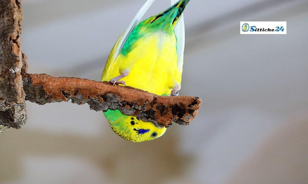 """Unser Vogelshop ist versandbereit für Sie zu Hause etwa in Kassel, Hagen oder Lübeck. Warum nicht? Machen Sie Ihren Wellensittichen, Nymphensittichen und Papageien eine Freude mit Rindenkork. Das natürliche Material aus der Korkeiche ist optimales Vogelspielzeug für Ihre Vögel. Kork besitzt viele einzigartige Eigenschaften, zum Beispiel unterliegt es keiner Alterung. Rindenkork wirkt isolierend und hält Ihren Vogel warm, zudem ist Kork staubabweisend und deshalb auch gesundheitlich sehr gut für Vogelhalter verträglich, die unter Asthma leiden. Korkrinde bietet Ihren Wellensittichen, Sperlingspapageien, Nymphensittichen und Kanarienvögeln Knabberspaß pur und garantiert langanhaltende Beschäftigung. Ein toller Nebeneffekt bei """"Freiflüglern"""" ist, dass Ihre Möbel und Tapeten nicht durch den naturgemäßen Nagetrieb Ihrer Vögel in Mitleidenschaft gezogen werden. Kork konzentriert das Nagebedürfnis Ihrer Vögel auf sich. Auch in Ruhe- oder Schlafphasen macht Korkrinde eine perfekte Figur, da die Oberfläche Ihre Vögel zum Verweilen einlädt. Stark beanspruchte Körperzonen werden durch die weiche Oberflächenstruktur des Korks entlastet, wie etwa die empfindlichen Krallen- und Fußpartien. Auch der Vogelschnabel wird durch das Schreddern des Korkmaterials sinnvoll beansprucht und natürlich abgenutzt. Sprechen Sie uns bitte an, wenn Sie Fragen haben - egal ob zum Thema Rindenkork, Vogelfutter oder in anderen Anliegen rund um Ihre """"kleinen Piloten"""" - wir sind gerne für Sie da! Ihr Team von sittiche24."""