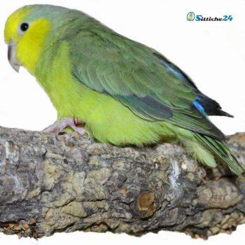 Raffiniertes Vogelzubehör aus Naturkork in Form einer Vogelschaukel.