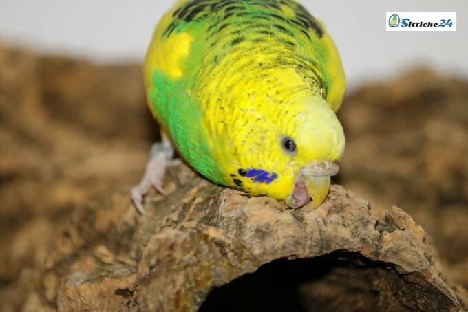 Naturkork ist Top Vogelzubehör für die wichtige Schnabelpflege Ihrer Vögel.