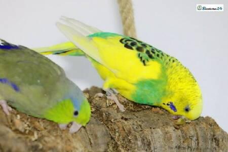 Kork für Vogelkäfige und Volieren.