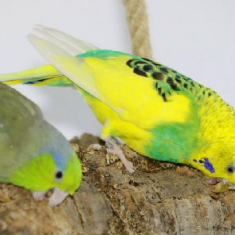 Kork für Vogelkäfige und Volieren