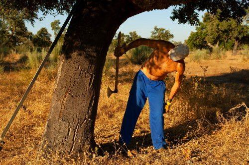 Das Abschälen der Korkrinde vom Stamm erfordert viel Erfahrung und Geschick. Der Stamm selbst darf natürlich nicht beschädigt werden.