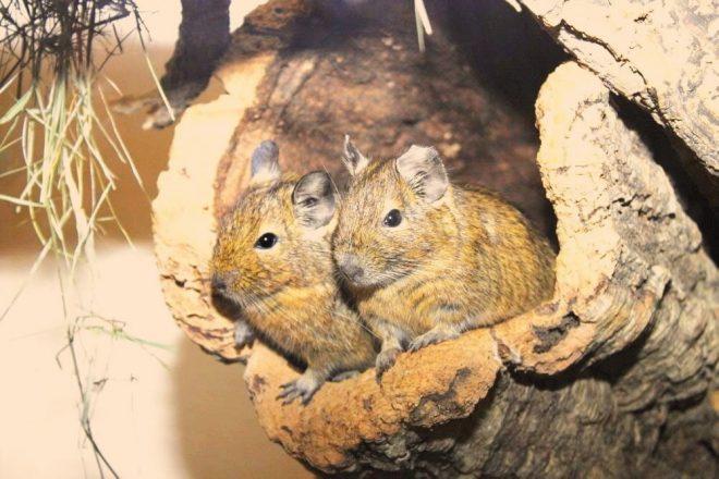 Degus Zubehör Korkröhre. Nagetiere Zubehör Naturkork. Egal, ob Hamster, Degus, Ratten, Meerschweinchen & Co - alle Nager lieben Kork zum Klettern, Knabbern und als Versteck- oder Ruheplatz!