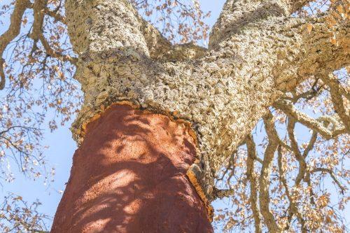 Naturkork Rinde teils vom Stamm abgeschält