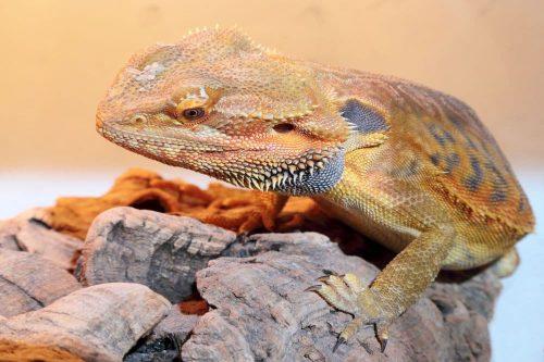 Naturkork für Reptilien.