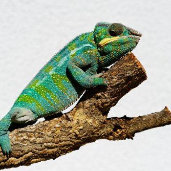 Chamäleons Naturkork