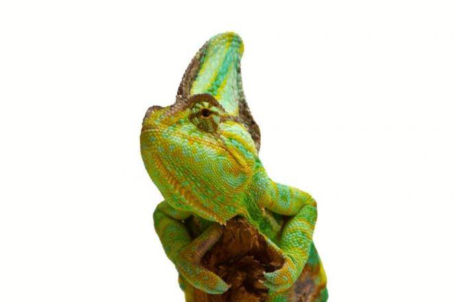 """Chamäleons Wohnhöhle Naturkork. Korkröhren und Naturkorkprodukte sind für Chamäleons hervorragendes Terrarienzubehör, da sie Ihren Lebensraum vorwiegend in bewaldeten Regionen in warmen Zonen bestreiten. Chamäleons zählen zur Familie der """"Leguanartigen"""" und besiedeln naturgemäß den afrikanischen Kontinent, einschließlich Madagaskar. Als Busch- und Baumbewohner mögen Chamäleons Naturkork in Ihrer Terrarieneinrichtung besonders, so dass Korkröhren, Korkplatten oder Korktunnel sicherlich zu der Spitzenausstattung in der Chamäleon Haltung zählen. Der gesamte Körper der """"Echten Chamäleons (Unterfamilie)"""" ist für ein Leben in den Bäumen ausgerichtet. Leider sind fast alle der rund 200 Chamäleon Arten in Ihrer natürlichen Lebensumgebung gefährdet, so dass sie unter das Washingtoner Artenschutz-Übereinkommen fallen."""