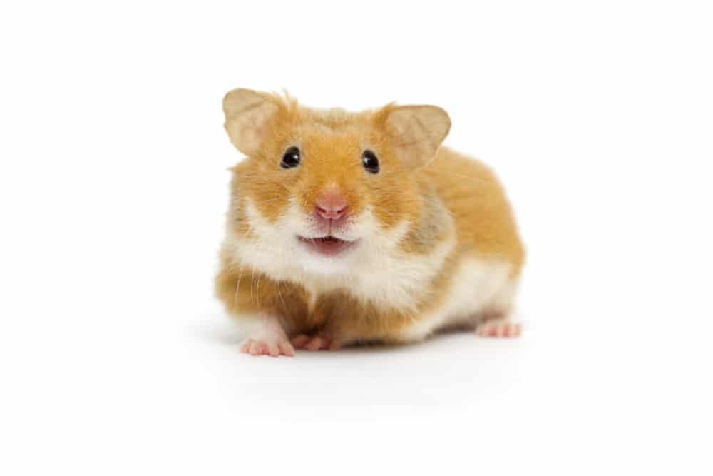 Hamster Versteck