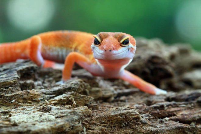Naturkork Wohnhöhle Orangener Gecko