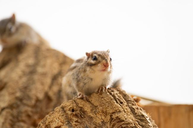 Streifenhörnchen - Chipmunk Naturkork. Nagetiere Zubehör Naturkork. Egal, ob Streifenhörnchen, Hamster, Meerschweinchen, Degus & Co - alle Nager lieben Kork zum Klettern, Knabbern und als Versteck- oder Ruheplatz!