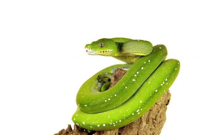 Erstausstattung Grüner Baumpython. Naturkork passt ausgezeichnet in die Lebensumgebung von grünen Baumpythons und ist deshalb - auch Dank seiner vielen einzigartigen Eigenschaften - bei Schlangenfreunden als Terrarium Zubehör sehr beliebt. Schlangen besiedeln Wüsten, tropische und subtropische Dschungel aber auch Äcker, Felder und Tümpel. Schlangen sind auf dem Boden ebenso zu Hause auf wie hoch im Geäst von Bäumen. Da grüne Baumpythons viele Fressfeinde wie Greifvögel oder kleinere Raubtiere haben, vermittelt zum Beispiel eine Korkröhre den Schuppenkriechtieren das Gefühl von Sicherheit und Schutz. Zudem können Schlangen Ihrem natürlichen Klettertrieb auf einem Korkast oder Korktunnel hervorragend freien Lauf lassen!