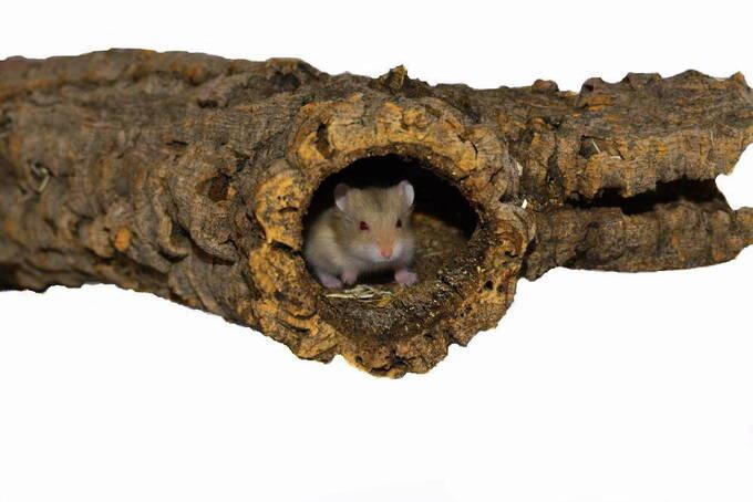 Nagetiere Zubehör Naturkork. Egal, ob Hamster, Degus & Co - alle Nager lieben Kork zum Klettern, Knabbern und als Versteck- oder Ruheplatz!