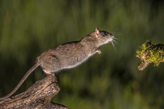 Mäuse Käfigzubehör. Korkröhren, Korktunnel & Korkäste laden Mäuse stets zum Knabbern, Spielen, Klettern und Verstecken ein. Kork ist Trumpf!