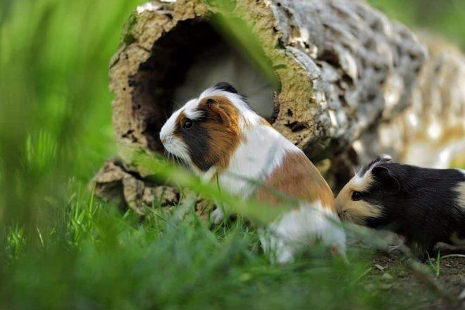 Meerschweinchen Spielzeug. Korkröhren & Korktunnel sind hervorragendes Kletter- und Knabberspielzeug für Meerschweinchen. Nagetiere Zubehör Naturkork. Egal, ob Hamster, Degus & Co - alle Nager lieben Kork zum Klettern, Knabbern und als Versteck- oder Ruheplatz! Kork ist Trumpf!