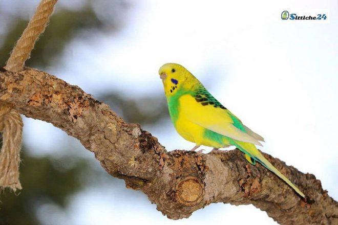 Korkschaukel für Wellensittiche, Papageien, Kanarienvögel oder Nymphensittiche. Vogelzubehör aus Naturkork für Vögel.