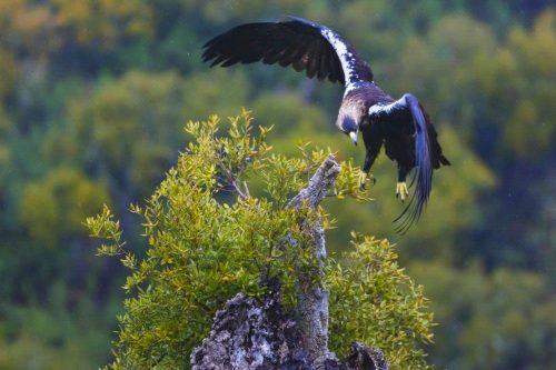 Spanischer Kaiseradler im Anflug auf Naturkork Ast. Nicht nur Wellensittiche & Co fliegen auf Naturkork, auch große Adler in freier Natur!