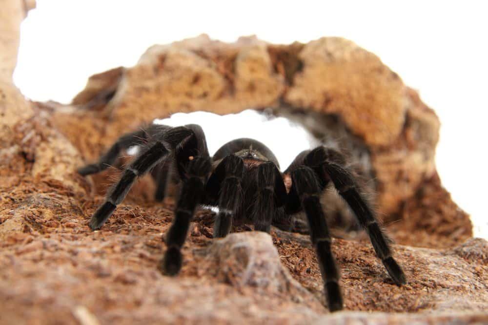 Spinnen Naturkork Höhle