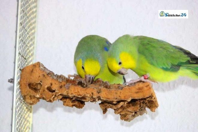 Vogelsitzbretter aus Naturkork! Wellensittiche & Co lieben Kork. Korksitzbretter zum Befestigen im Vogelkäfig oder der Voliere.
