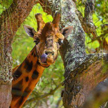 Auch Giraffen mögen Naturkork. Hier eine Momentaufnahme von einer wunderschönen Giraffe inmitten des Blätterdaches einer Korkeiche!