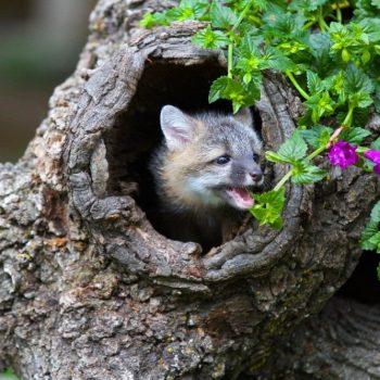 Rotfuchs Baby in Korkhöhle! Der Rotfuchs ist in Europa der häufigste Wildhund - Naturkork hält warm, weich und bietet perfekte Sicherheit!
