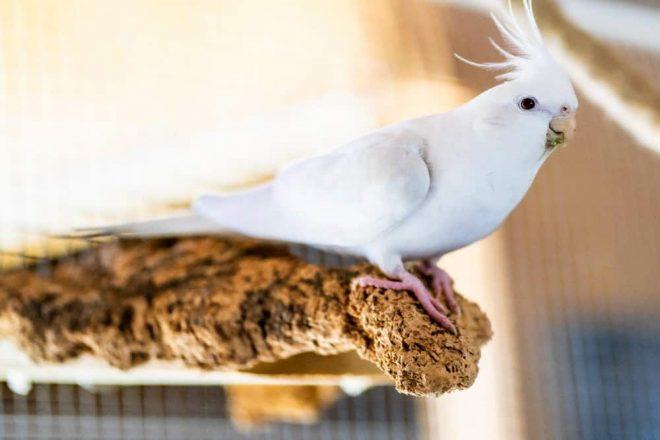 Weißer Nymphensittich entspannt auf Naturkork Sitzbrett. Vogelsitze aus Naturkork für Vogelkäfige & Volieren. Kork in vielen Ausführungen.