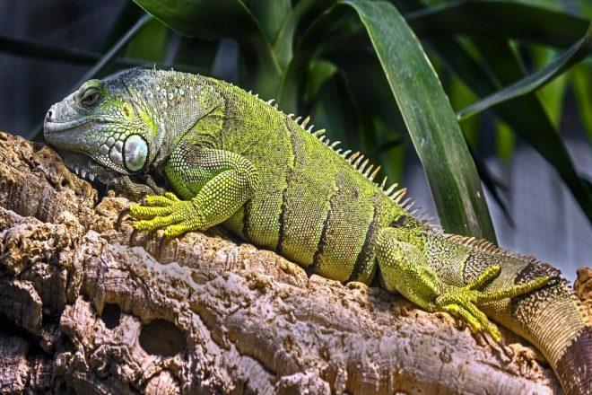 Naturkork für Grüne Leguane. Der Grüne Leguan zählt zu den beliebtesten Terrarientieren! Der Grüne Leguan ist tagaktiv und primär baumbewohnend, jedoch ist er auch ein guter Schwimmer. Auf der Flucht lässt er sich oftmals von überhängenden Ästen ins Wasser fallen, wo er dann vor der Bedrohung wegschwimmt.
