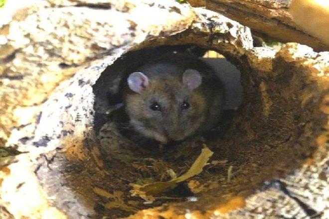 Ratten und Naturkork. Korkröhren bieten stets sicheren Unterschlupf und ähneln der natürlichen Lebensumgebung von Ratten. Ratten haben viele Fressfeinde und suchen deshalb naturbedingt höhlenartige Umgebungen zu ihrer Sicherheit auf. Naturkork ist perfektes Einrichtungsmaterial für Nagerkäfige mit Ratten. Ratten fühlen sich wohl mit Naturkork.