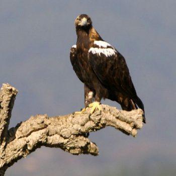 Spanische Kaiseradler nutzen zum Bau eines Nestes vorwiegend reife Korkeichen. Korkrinde besitzt eine sehr weiche Oberfläche. Naturkork Shop.
