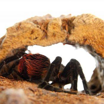 Vogelspinnen einrichten mit Naturkork. Für die Haltung von Vogelspinnen ist Naturkork als Terrariumeinrichtung nahezu unverzichtbar.